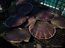 Japanese Scallop Farming